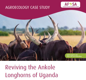 ankole cows case study natural livestok farming